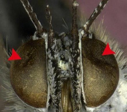 insectes_mutants_fukushima