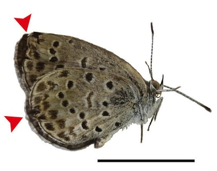 Papillon Mutant