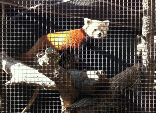 REd-Panda-Firefox