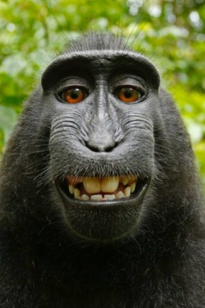 th_Macaca_nigra_self-portrait__rotated_and_cropped___1_