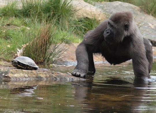 turtle vs gorilla