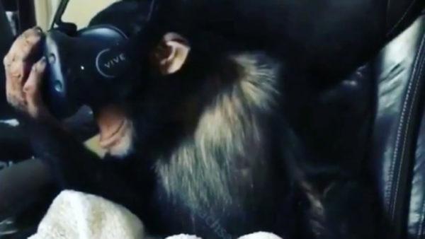 chimp-vive-vr