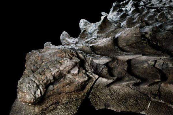 Nodosaure Fossile 2 600x400