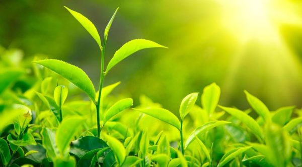 Green Leaves With Sunlight Resultat 600x331