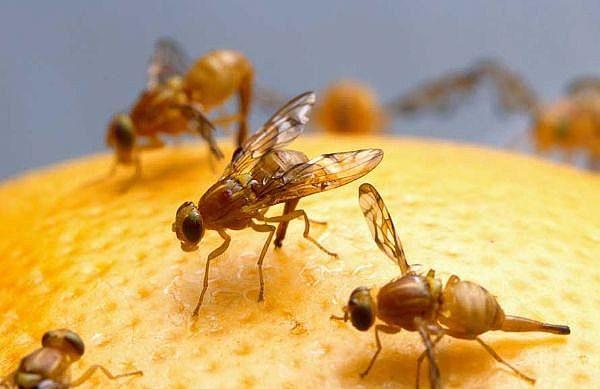 Fruitflies 600x389