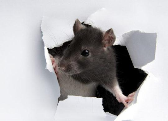 vp_us_rat-paper_wall_iStock_8343646_MEDIUM-700×432