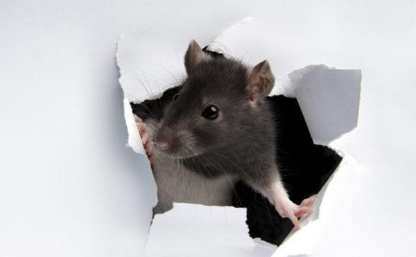Vp Us Rat Paper Wall IStock 8343646 MEDIUM 700x432 600x370