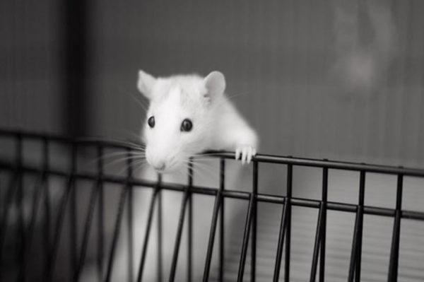 Rat Laboratoire 600x399