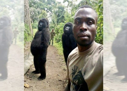 Selfie ranger gorille
