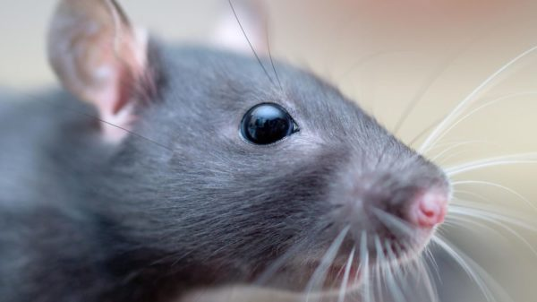 Tete De Rat 600x337