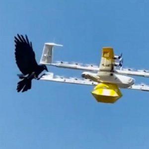 Image article Google : des corbeaux perturbent les livraisons par drones en Australie