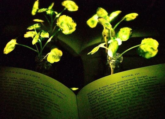 MIT plantes lumineuses